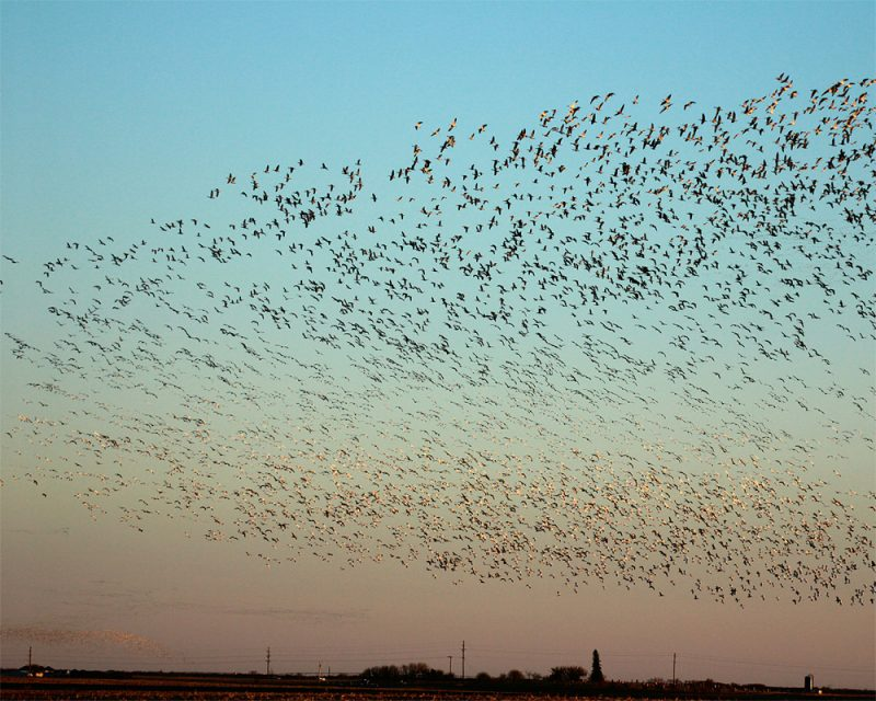merry steed photography of birds flying in the sunset called flock