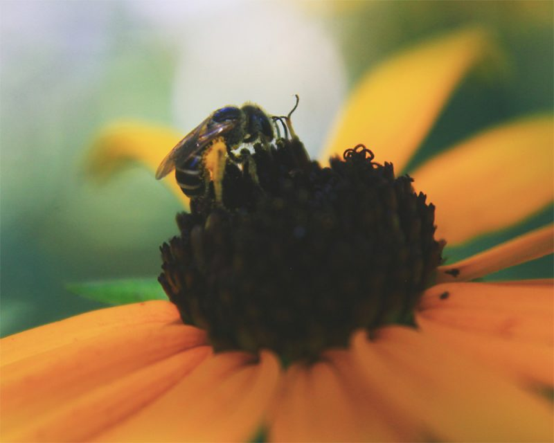 merry steed photography of a bee getting pollen out of a yellow flower called pollen