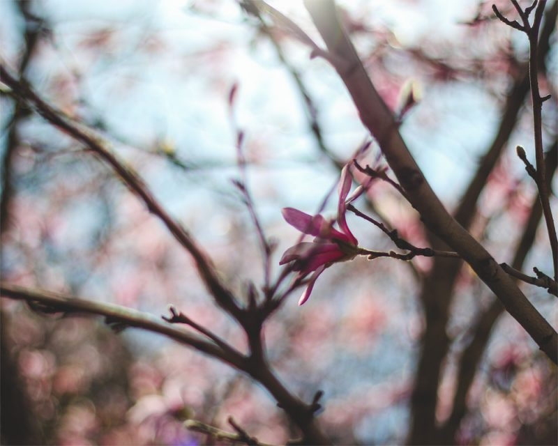 wunderkid nicole raquinio photograph of flowers in a tree called spring