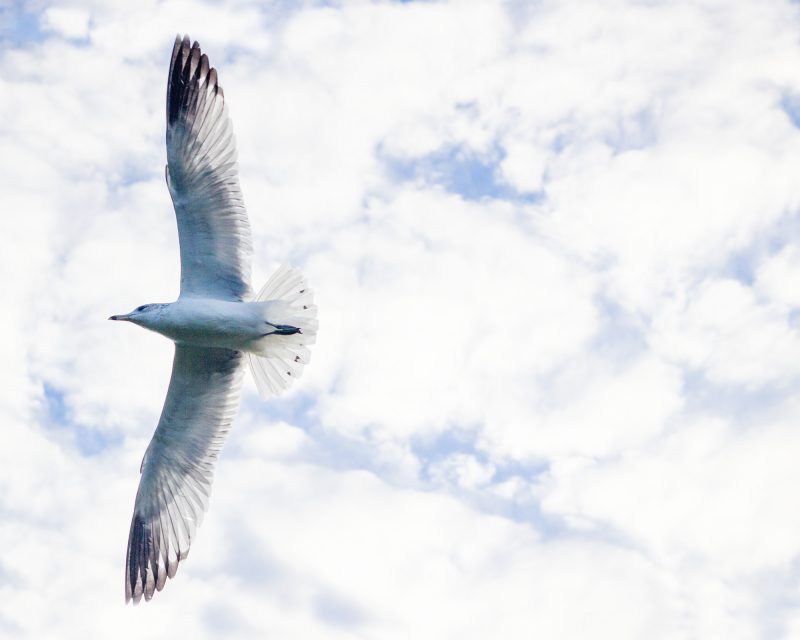 Photograph of a seagull flying underneath some clouds called ascend by artist NICOLE RAQUINIO